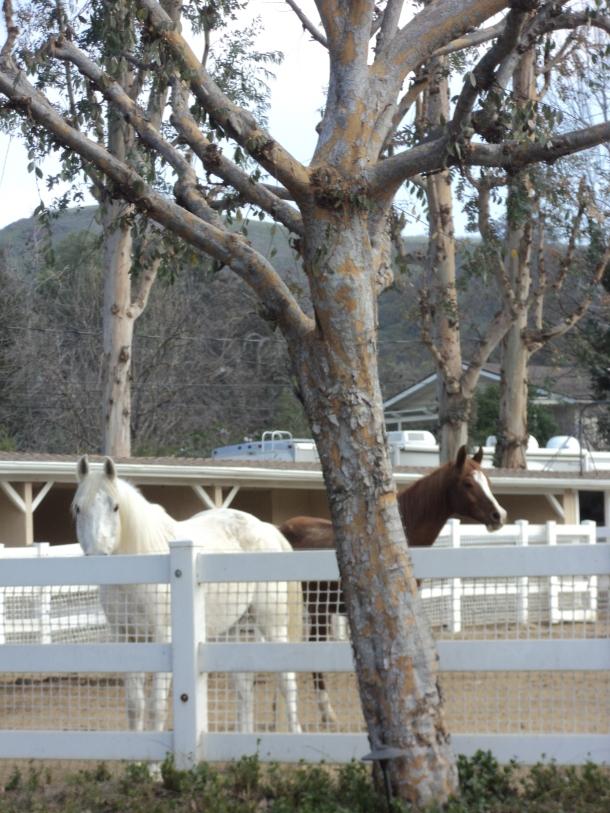 white cocoa horse