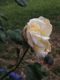 Rose Grow Pressure_4