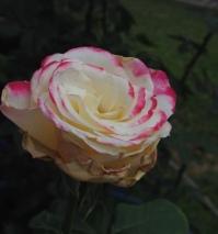 Rose Grow Pressure_5