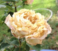 Rose Grow Pressure_8